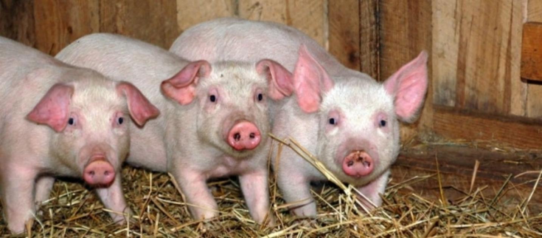 Vigili del Fuoco: prima salvano dei maialini da un incendio, poi caricano la foto del barbecue