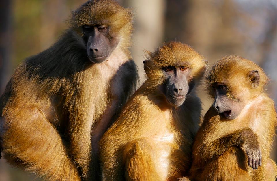 India, scimmia rapisce bambino di 12 giorni