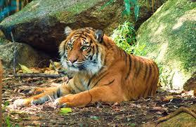 Reggio Calabria, entra nel recinto delle tigri: braccio amputato