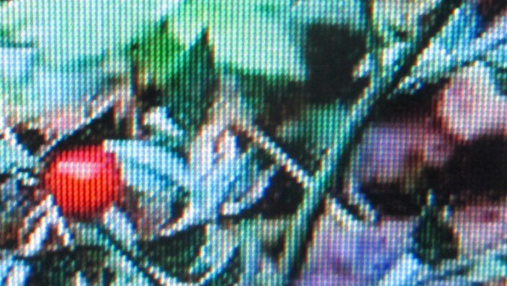 Il pungitopo: una pianta della macchia mediterranea dai molti usi